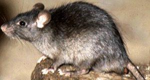 Unipest Pest Control - Rat Removal