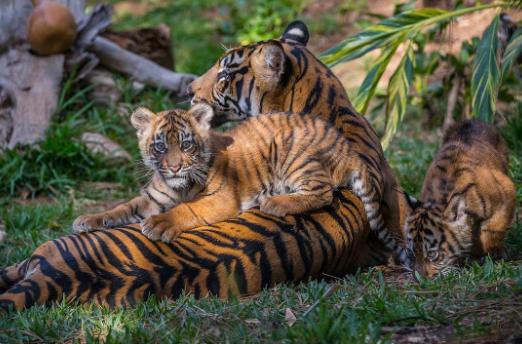 Endangered Animals - Bengal Tiger