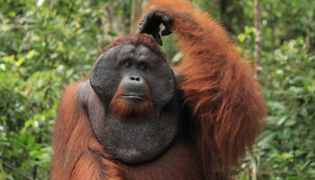 Endangered Animals - Orangutan