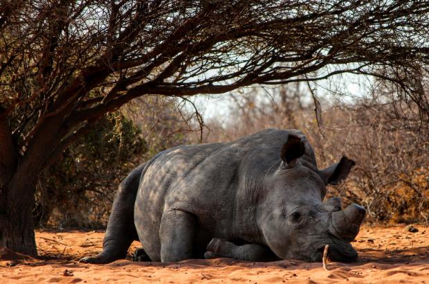 Endangered Animals - Rhino