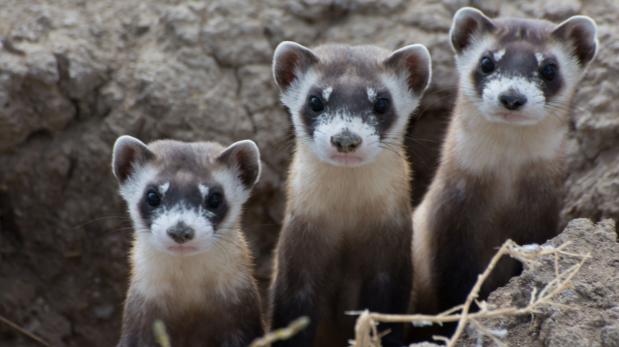 Endangered Animals - Ferret