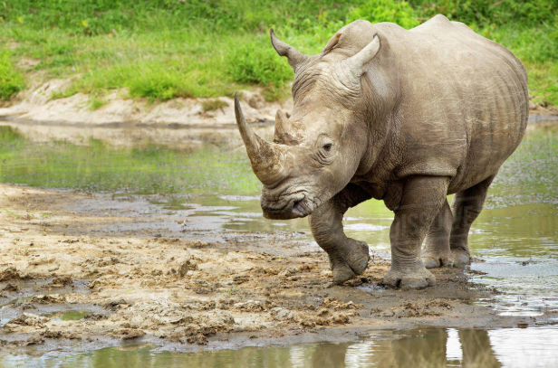 Endangered Animals - White Rhino